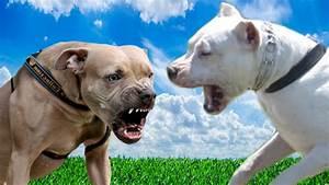 dogo argentino next to pitbull