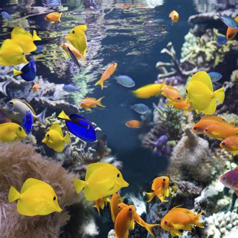 poisson en aquarium poissons d aquarium tout sur les poissons domestiques et les hibiens doctissimo