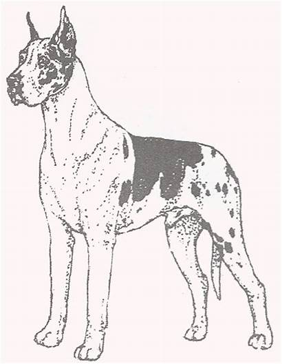 Dane Coloring Greatdane Pages Dogs Danes Harlequin