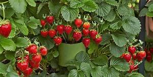 Erdbeeren Wann Pflanzen : erdbeeren alles ber die roten sommerlieblinge ~ Watch28wear.com Haus und Dekorationen