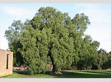 PlantFiles Pictures California Pepper Tree, Mastic Tree