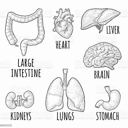 Anatomy Human Stomach Organs Liver Heart Brain