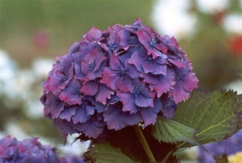 what is a hydrangea flower flower homes hydrangeas flowers
