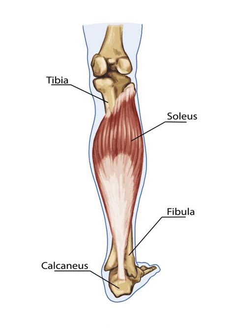 They all insert into the calcaneus of. Building Better Calf Muscles: How the Calf Works and How to Work It   Breaking Muscle