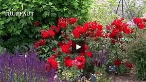 Comment Tailler Les Rosiers : comment tailler un rosier selon sa vari t jardinerie ~ Nature-et-papiers.com Idées de Décoration