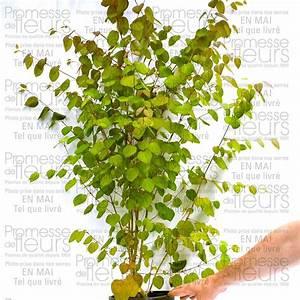 Pot Pour Arbre : arbre en pot feuillage persistant amazing abelia ~ Dallasstarsshop.com Idées de Décoration