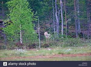 Wolf Temperate Forest Stock Photos  U0026 Wolf Temperate Forest