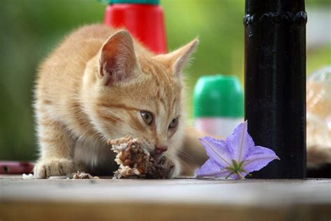 What raw meats can cats eat