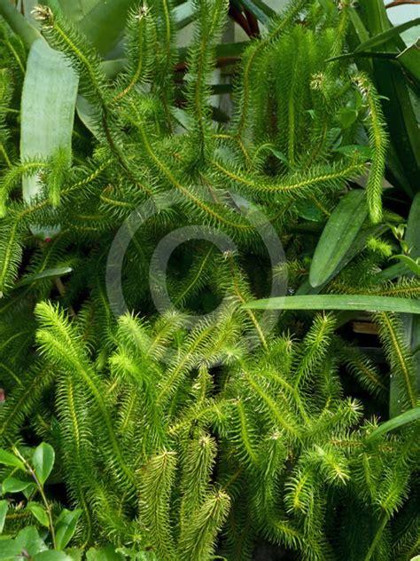 huperzia squarrosa rock tassel fern water tassel fern