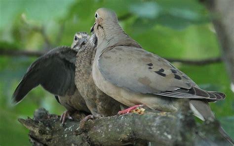 baby mourning doves 187 skinny in a land of plenty