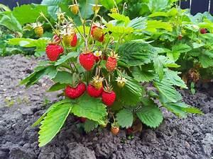 Plant De Fraise : fraisier grimpant culture et entretien ooreka ~ Premium-room.com Idées de Décoration