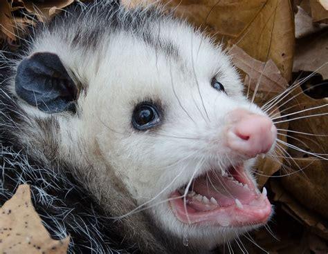 Possum Images Opossum Facts Animal Facts Encyclopedia