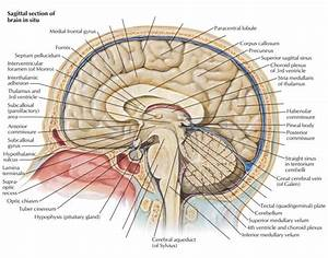 Sagittal Brain Neuroanatomy
