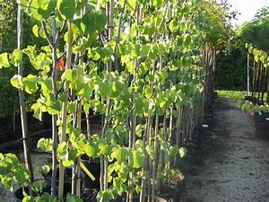 Arbre Ombre Croissance Rapide : pepinieres aillaud venelles arbre d 39 ornement et d 39 ombrage ~ Premium-room.com Idées de Décoration