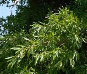 Oak-Trees-Willow-Leaves