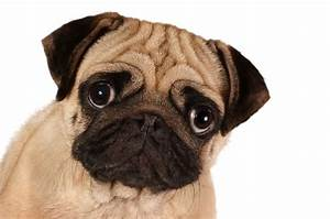 Seeing Cross-Eyed: What is Strabismus in Dogs?