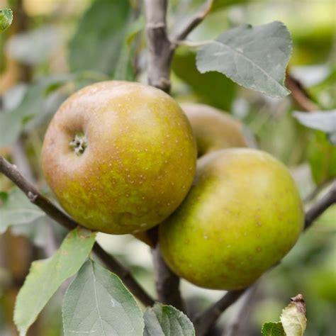 Buy Apple 'Egremont Russet' Online - Southern Woods