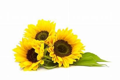 Sunflowers Background Sunflower Helianthus Europe Lima Eu