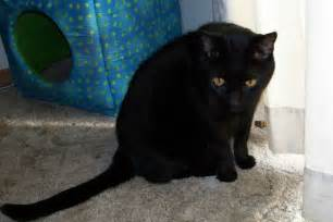 black cat breeds mixed breed black cat picture 5881 pet gallery