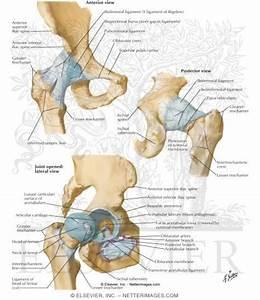 Human Hip Joint Anatomy