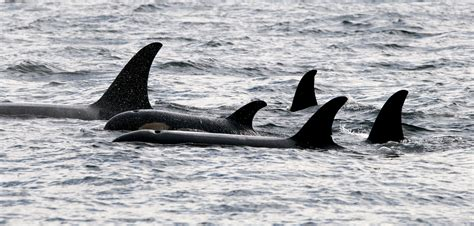 Orca Family Refuses To Leave Calf's Side During Harrowing