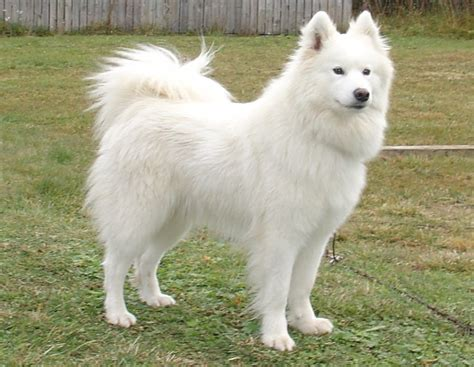Samoyed Breed Guide Learn About The Samoyed