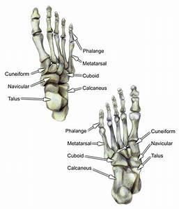 Bones Of Foot Labeled
