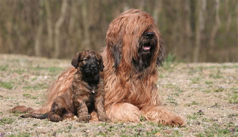 briard dog breed information  images  research lab