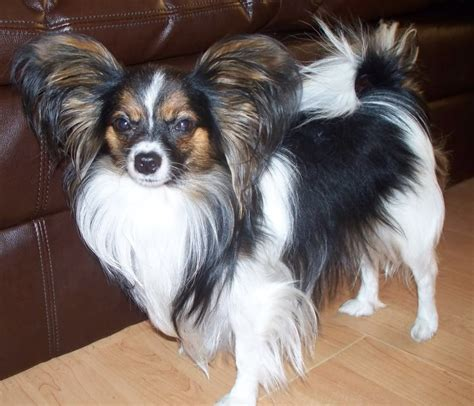 papillon mix yorkies schipperke full grown papillons