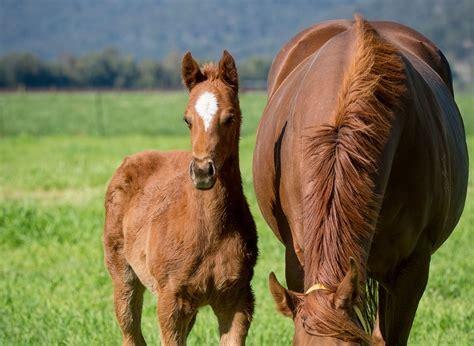 thoroughbred horses industry australian agrifutures australia