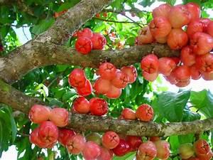 Arbre A Fruit : caribfruits pomme malacca fruits tropicaux ~ Melissatoandfro.com Idées de Décoration