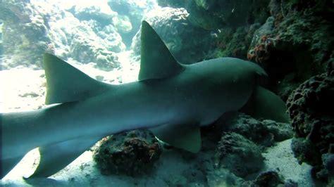 requin dormeur requin dormeur