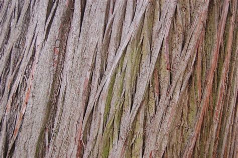 cypress tree bark sw cypress landscape architect s pages
