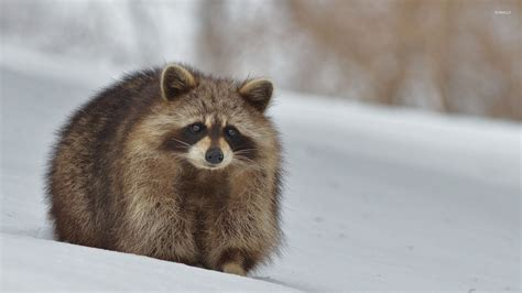 Animals In Snow Wallpaper - raccoon in the snow wallpaper animal wallpapers 51706
