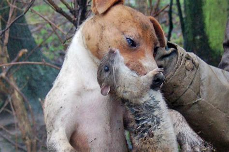 rats dogs infestation mutant rodent way rodents hunting ratting sized control cow attack terriers champion britain could take pest poison