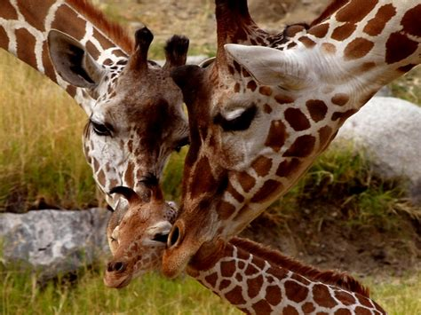 giraffe small cub parental love animals  africa hd