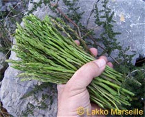 cuisiner asperges asperge sauvage asparagus acutifolius