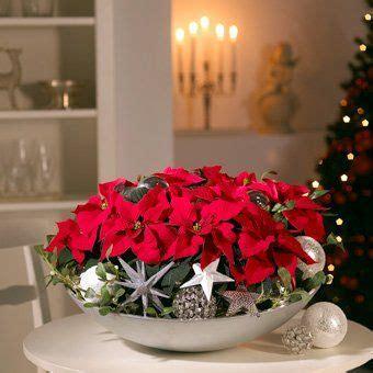 weihnachtsstern pflanze deko am 12 dezember ist poinsettia day weihnachten