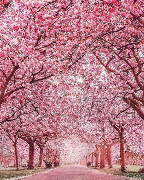 pink trees best 20 pink trees ideas on pinterest landscaping trees magnolia trees and blossom trees