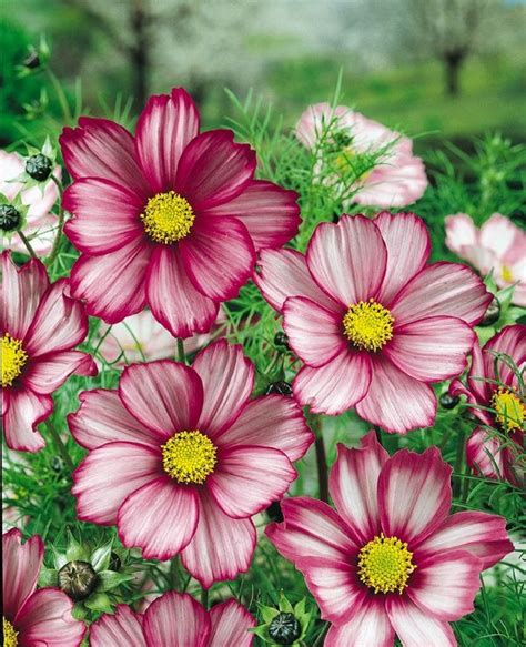 cosmos flower heirloom 300 seeds garden cosmos bipinnatus cosmea wild mexican aster mixed flower seeds b1045