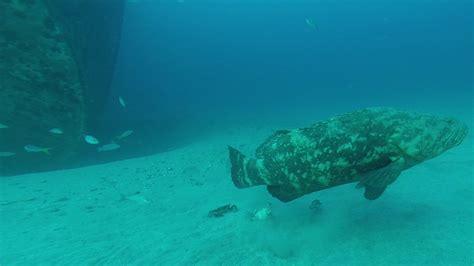 goliath diet grouper spearboard crabs research menu edited last