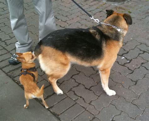 cute dogs german ghepherd mixed  rottweiler