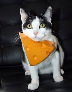 cheese cat the curly cat cheesehead