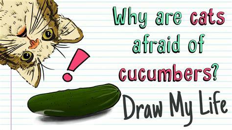 cats cucumbers cucumber why afraid cat vs draw