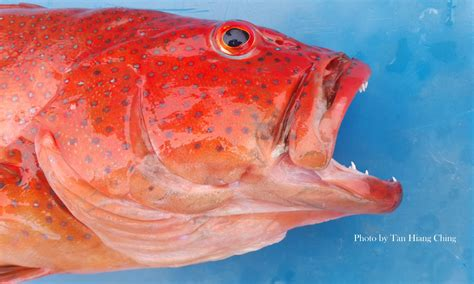 fish trout coral spotted grouper groupers leopard common edible orange saltwater southeast mandarin
