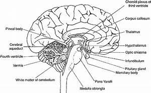 Labeled Fetal Pig Brain Sheep Brain Diagram
