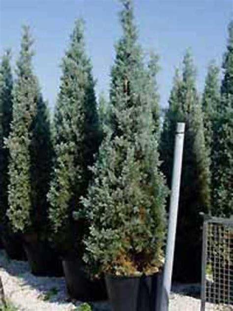 cupressus arizonica glauca blaue arizona zypresse
