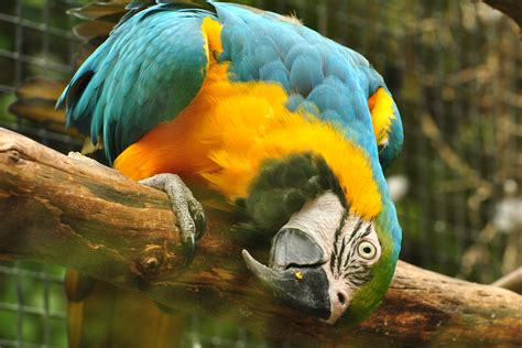 macaw lifespan file blue and gold macaw 8679984901 jpg wikimedia commons