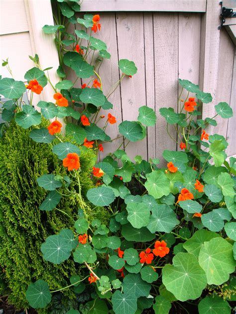 renees garden spitfire nasturtium update nasturtiums