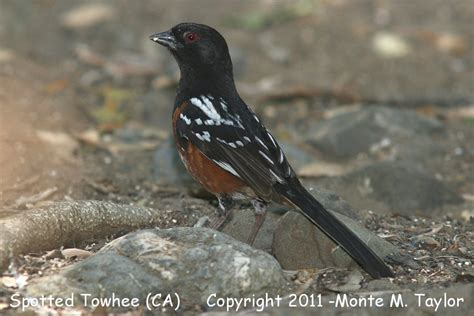 best 28 california bird calls bird sounds windows